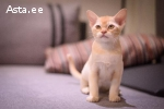 Бурманские котята.