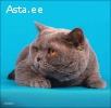 Клубный британский котик приглашает на вязку