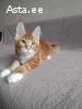 Кошка мейн кун в качестве домашнего любимца