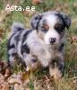 Nice Looking Australian Shepherd Puppies