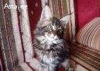 Очаровательный котенок мейн-кун