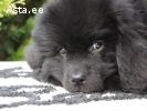 Продам щенка ньюфаундленда мальчика