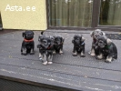 продаются щенки