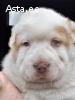 Продажа щенков горная грузинская. (Нагази)