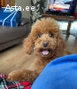 red mini poodle