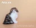 Scottish fold kassipoeg/котёнок