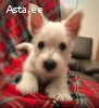 west white highland terrier