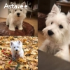 Westhayland white terrier