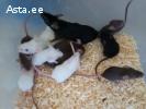 Живые кормовые мыши